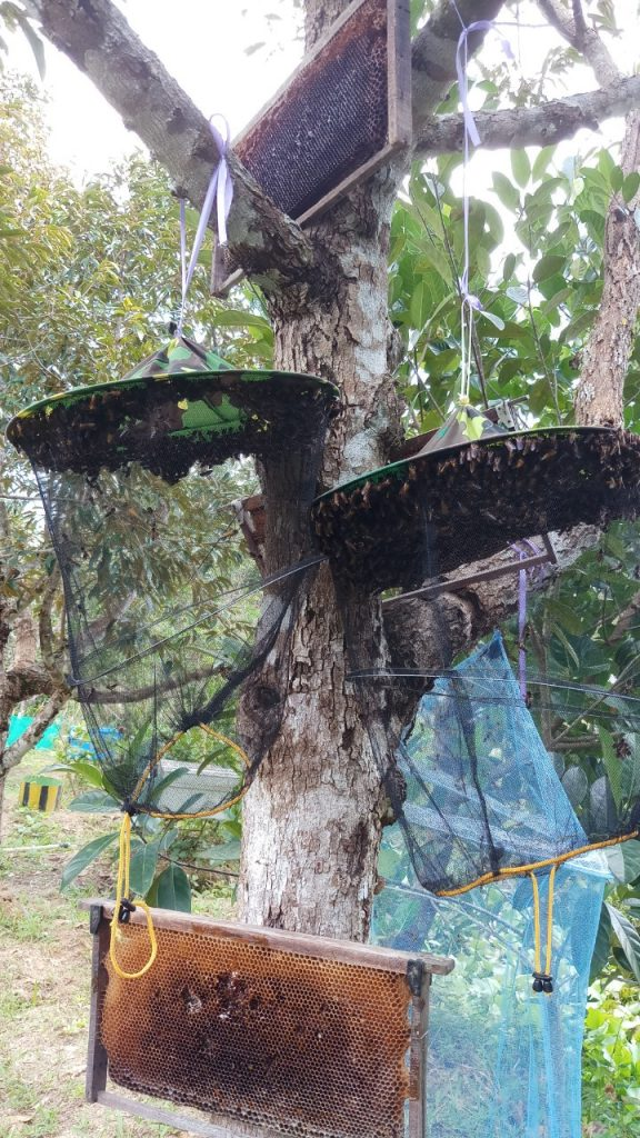 The rescued bees' transition to a new home at Phu Quoc Bee Farm